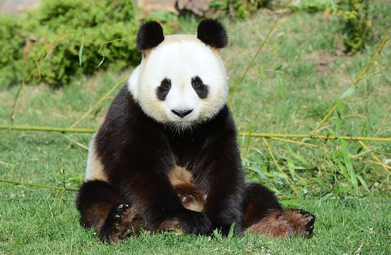 Zoo de Beauval : l'un des deux bébés pandas n'a pas survécu